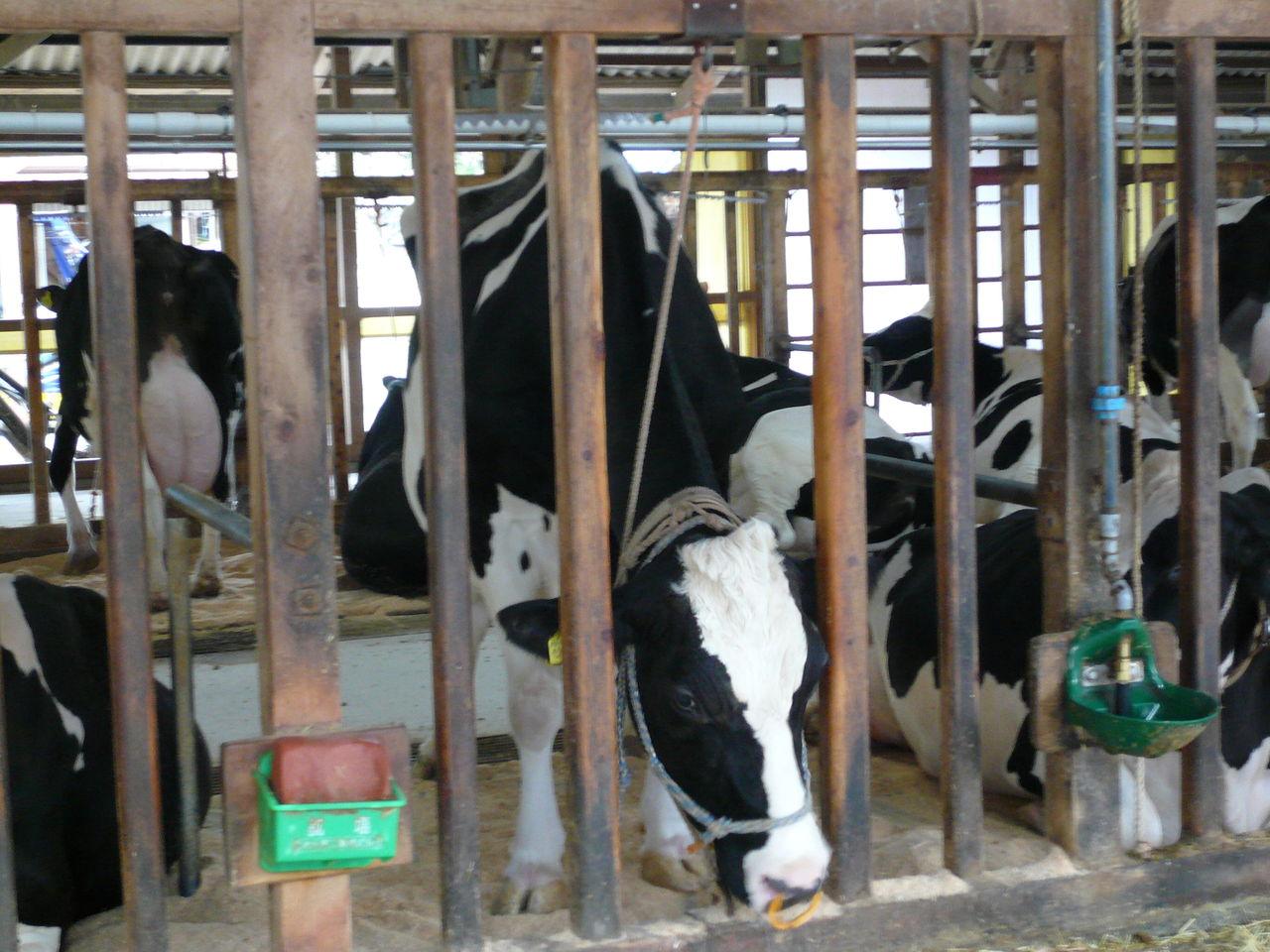 牛で酪農体験