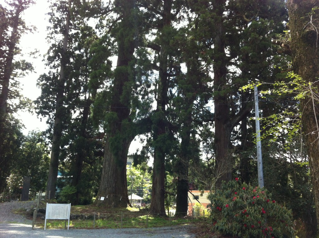村山浅間神社の大杉2