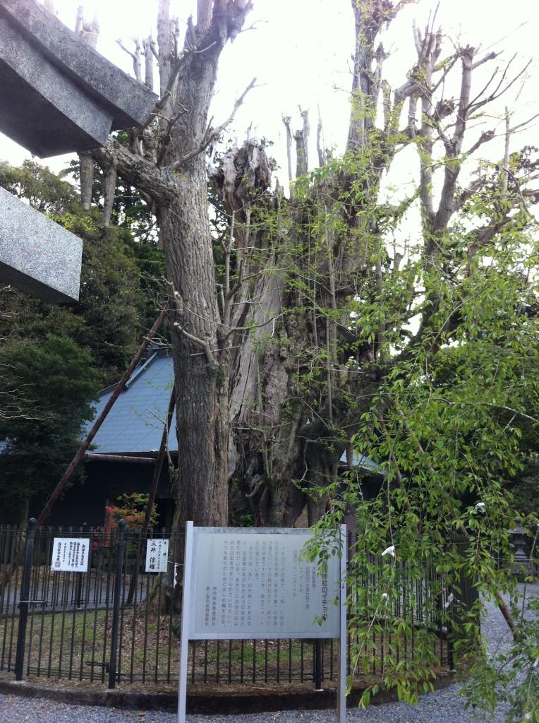 村山浅間神社の銀杏の木