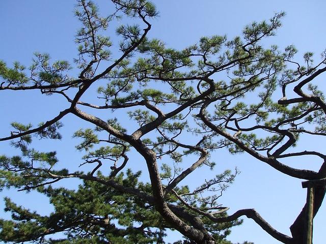 三保の松原 樹齢650年の